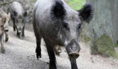 Ultima oră! S-a confirmat focar de pestă porcină și în fondul de vânătoare de la Finta