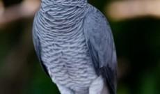 Recompensă de 1000 de lei pentru cine găsește acest papagal