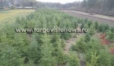 ROMSILVA anunţă că va scoate la vânzare aproape 40.000 de pomi de Crăciun
