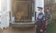 Leul folosit în videoclipul lui Dani Mocanu a ajuns la Grădina Zoo din Târgovişte