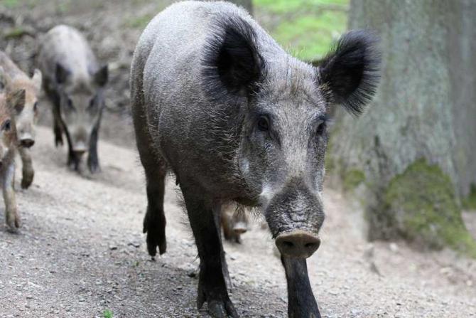 porc-mistret