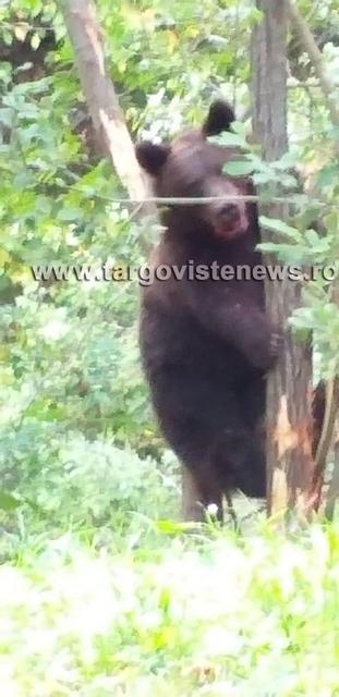 Dâmboviţa – Urs prins într-o capcană!