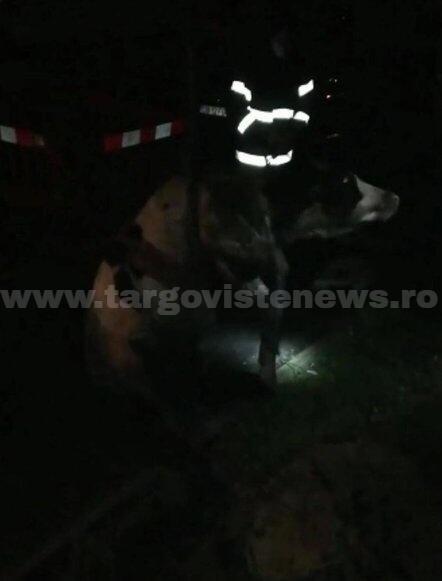 Pompierii din Moreni au salvat o văcuţă prăbuşită într-un canal