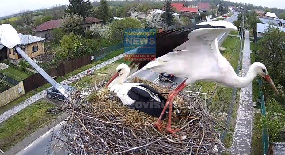 Două berze, vedetele orașului Răcari! Imagini LIVE din cuibul păsărilor