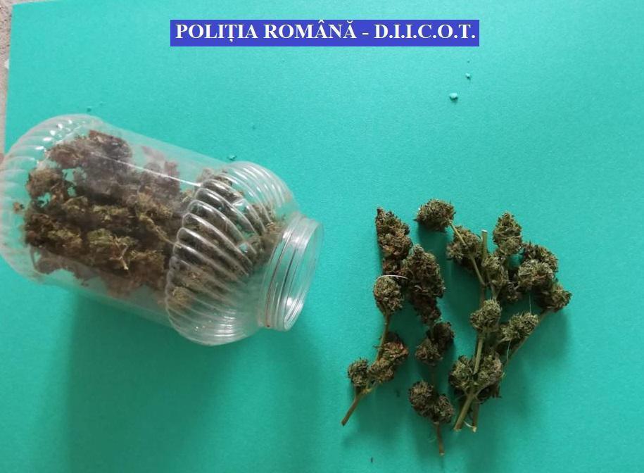 FOTO – VIDEO. Cultură de cannabis, în solar, la Băleni. Mascații au descins în locuințele cultivatorilor