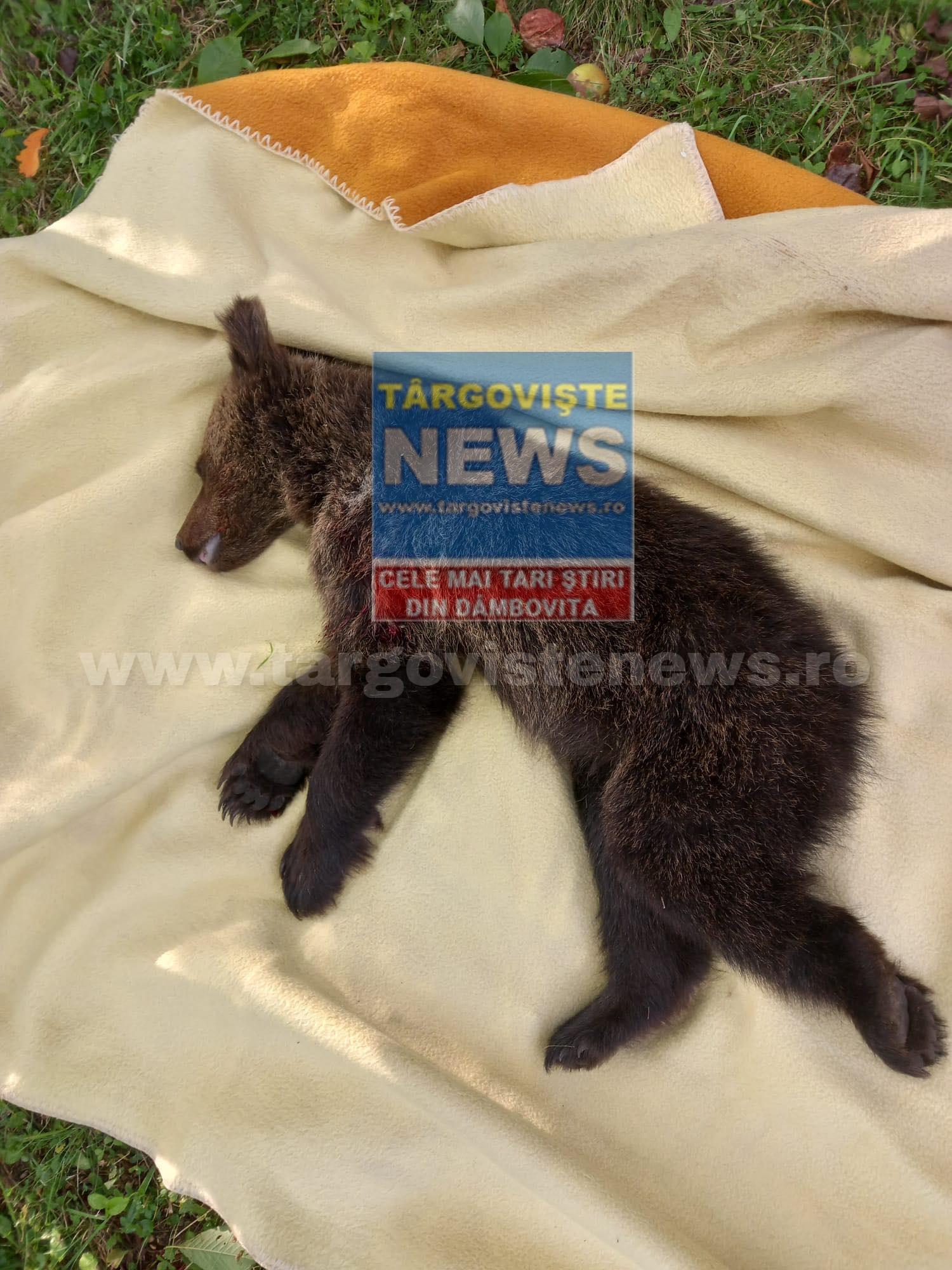 VIDEO – Un ursuleț de numai câteva luni s-a rătăcit în gospodăria unui jandarm. Autoritățile bănuiesc că puiul este al ursoaicei care a fost călcată de tren