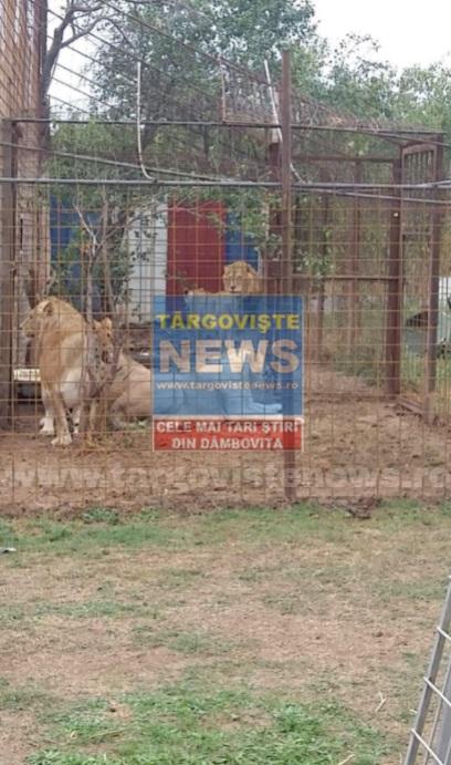 Şapte lei au fost ridicaţi din Picior de Munte şi duşi într-un adăpost special din Olanda